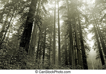 Redwoods in the fog - Lady Bird grove, Redwood national...