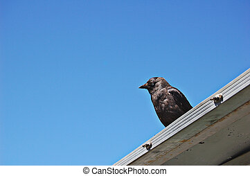 Jackdaw perched on building