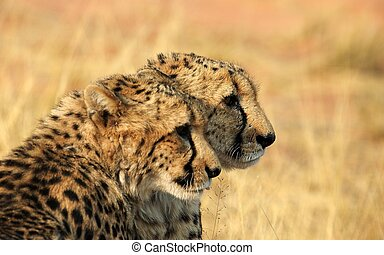 Brothers - Two cheetahs observing the savannah.