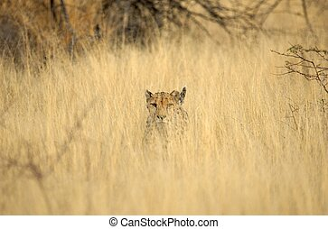 Faeced by a cheetah - You often do not see anything of a...