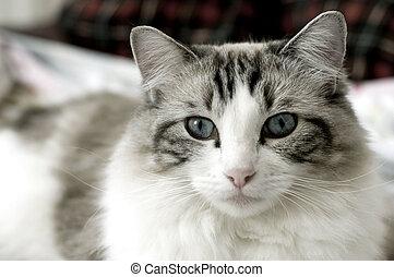 Rag doll cat - Kitten in living room
