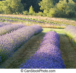 Lavender Farm - Rows of lavender flowers growing on a farm...