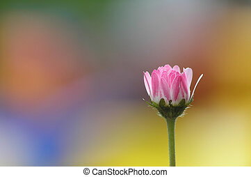 Single daisy placed on a background of colored blur