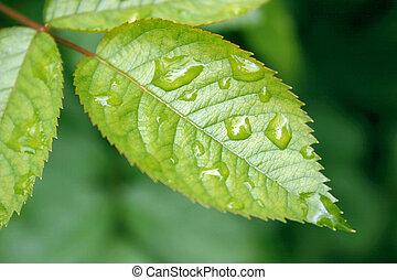 rain on a leaf - rain on a rose leaf