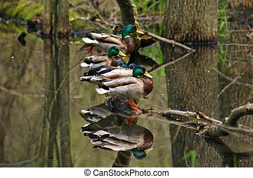 Ducks in a Row - Ducks sitting in a row