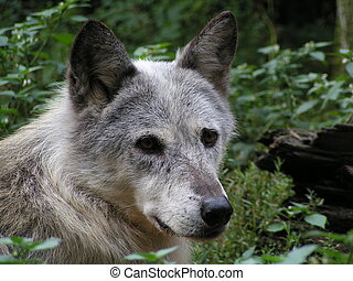 Wolf portrait - Ths portrait was captured in a small animal...