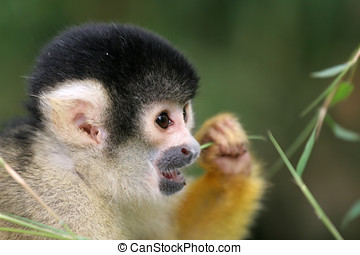 Squirrel monkey eating - Squirrel monkey saimiri boliviensis...