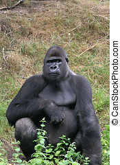 Impressive gorilla - Big silverback in a zoo sitting and...