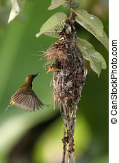 Olive-backed Sunbird feeding baby bird
