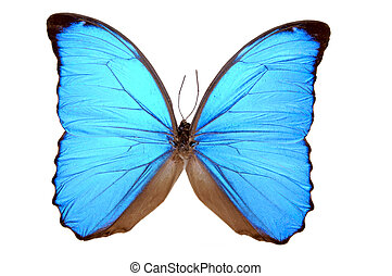 Iridescent Blue Butterfly Morpho menelaus - A true Morpho...