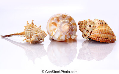 Shells against white background with inverted reflection
