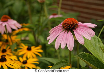 Echinacea Flowers - Shot of an Echinacea plant outside Frank...