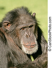 Chimpanzee - Portrait of a large male chimpanzee