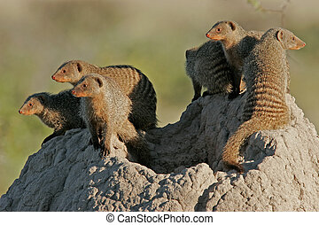 Mongoose family - Banded mongoose family basking on an...