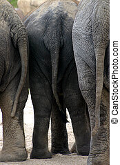 Elephant tails - A group of three African elephants standing...