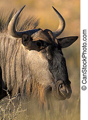 Portrait of gnu taken in the Kgalagadi Transfrontier Park...