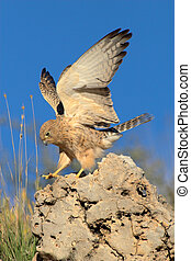 Lesser kestrel landing on rock. This picture was taken in...