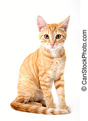 feline portrait - small cat portrait on white background