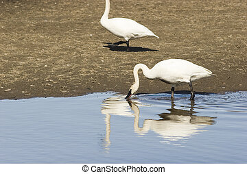 Swan reflection with bended neck