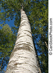 Birch tree trunk