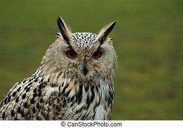 Eyes of an eagle owl - Sammy is a siberian eagle owl