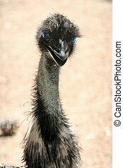 ostrich - Male ostrich portrait