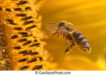Macro of a honeybee in a sunflower. The bee is full of...