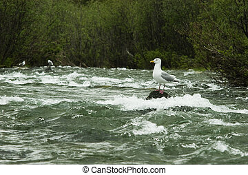 Gull waiting for food - Wild gull waiting for salmon smolt...