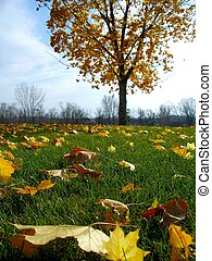 Bright Autumn Day - Leaves fall from a tree on green grass....