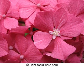 hydrangea - close up of pink hydrangea flower