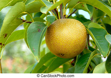Olympic Asian Pear Tree in summer. Asian round pears are the...
