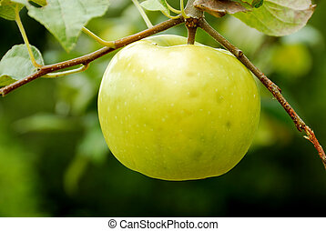 Yellow Apple Tree in Summer