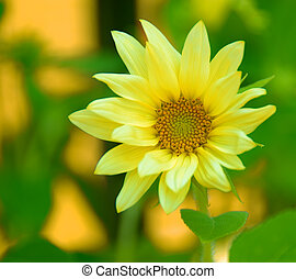 Yellow Daisy Macro - Yellow Daisy Asteraceae macro in the...