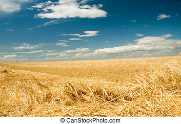 Harvest time 1 - Ripe freshly cut wheat or barley.