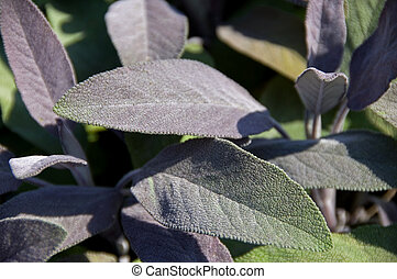 Sage - Macro close-up of sage leaves