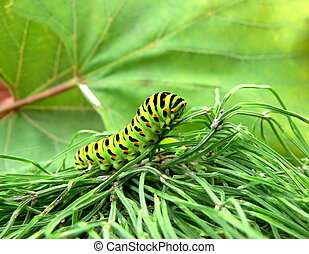 Caterpillar - A caterpillar of butterfly