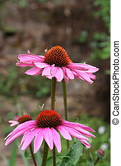 coneflowers - cone flowers in a garden