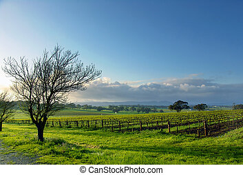 Vineyard Landscape - Fresh Spring Vineyard