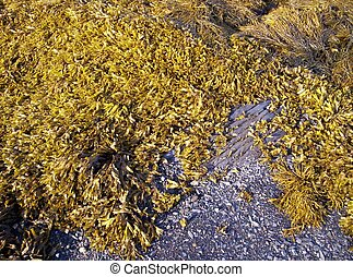 seaweed is used in toothpaste, icecream, soaps and meats....
