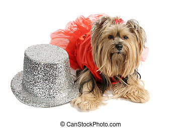 Yorkie Showgirl - A cute yorkshire terrier dressed up in a...