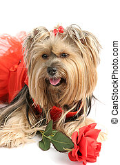 Yorkie Princess with Rose - A beautiful yorkshire terrier in...