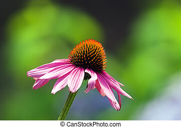 Coneflower - Echinacea purpurea L Moench eastern purple...