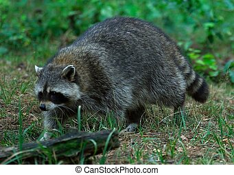 Raccoon on the hunt - Raccoon is searching for something to...