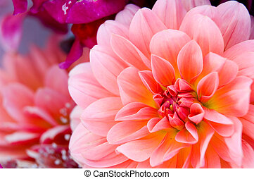 Dahlia - Bright flowers background