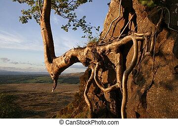 clinging rowan - A rowan tree clings to a rockface on a...