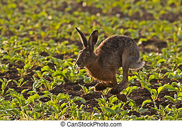 Running Hare - Hare Running through a field in the early...