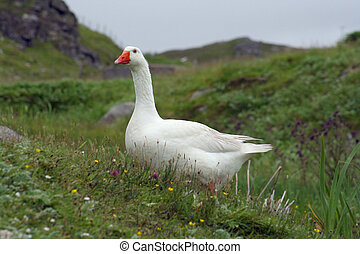 hebridean snow goose - A snow goose at Dalbeag in the Outer...