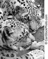Snow Leopards - Pair of snoozing snow leopards