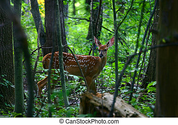 Summer Fawn - Adolescent fawn still in spots