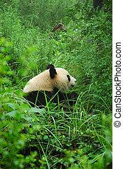 Tranquility - Giant Panda in the Chengdu Panda Research Base